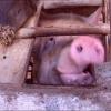"""""""Pig Business"""", adevărul despre fermele industriale în România"""